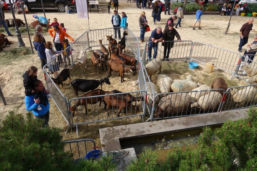 Schafe und Ziegen vor dem Waldbronner Brunnen