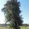 Birnbaum Gewann Fleckenhöhe