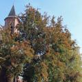 Blutbuche bei der Kirche in Reichenbach