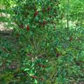 Die Stechpalme ist der Baum des Jahres 2021.  Bild: Gemeinde Waldbronn