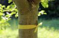 Obstbäume mit gelben Bändern dürfen abgeerntet werden.