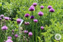Kräutergarten Waldbronn lila Blüten