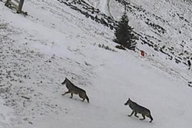 Wölfe auf der Webcam