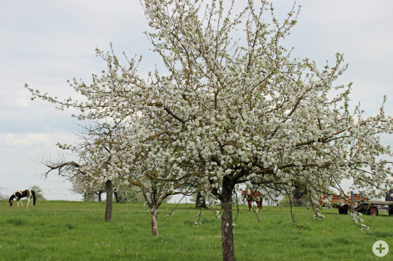 Streuobstbaum in Busenbach. Bild: Gemeinde Waldbronn