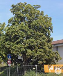 Der Kastanienbaum an der Ecke Talstraße/Hewlett-Packard-Straße bleibt stehen.
